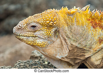 Galapagos land iguana in close up. - Close up of the head of...