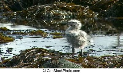 chick - gull chick on algae in the water