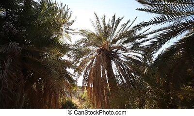 Palm Trees, Greece - video footage of palm trees in crete,...