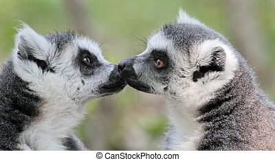 Lemur catta (maki) of Madagascar - Two lemur catta (maki) of...