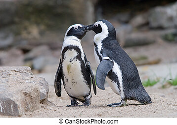 cute penguin  - two penguins in love and kissing
