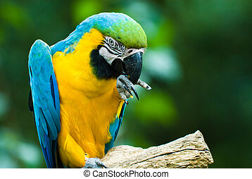 blue-and-yellow macaw - close-ip of a beautiful...