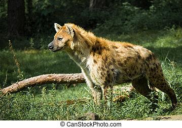 beautiful hyena - close-up of a beautiful hyena