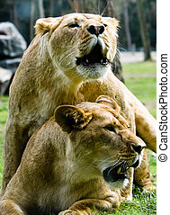 two lions acting kind of funny