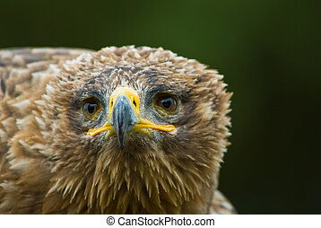Steppe Eagle - cose-up of a steppe eagle (Aquila nipalensis)