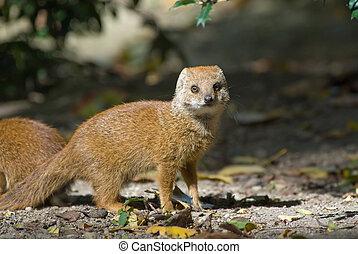 cute yellow mongoose (Cynictis penicillata)