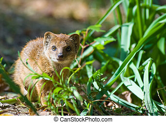 cute yellow mongoose (Cynictis penicillata)