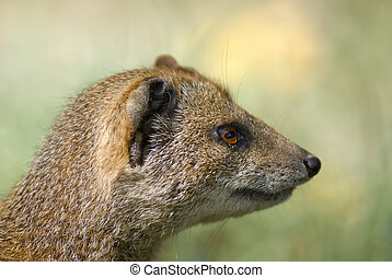 yellow mongoose - close-up of a yellow mongoose (Cynictis...