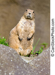 cute prarie dog - close-up of a cute prarie dog (Cynomys)