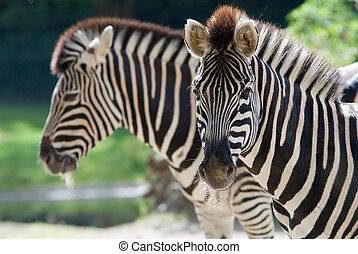 beautiful zebra  - closeup of a beautiful zebra