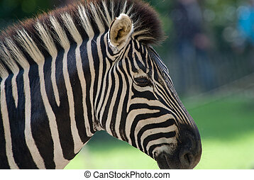 beautiful zebra - closeup of a beautiful zebra