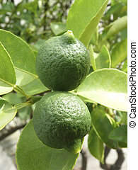 Lemon on Plant, Limon, Rutaceae
