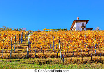 Autumnal vineyard on the hill in Italy - Yellow autumnal...