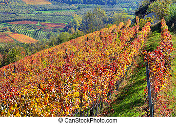 Autumnal vineyards on the hills in Piedmont, Italy. - View...