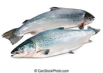 Atlantic salmon - Salmo salar Atlantic salmon on the white...