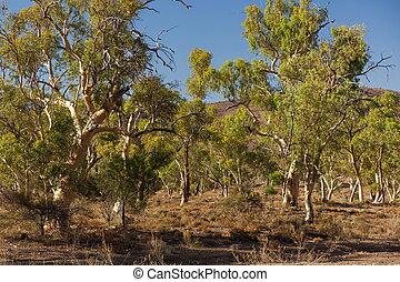 Eucalyptus on dry creek bed. Flinders Ranges. South...