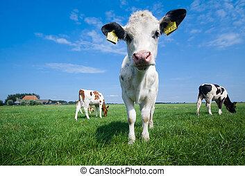 cute baby cow on farmland