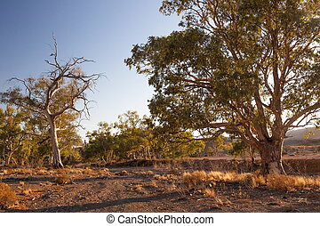 Eucalyptus on dry creek bed Flinders Ranges South Australia...