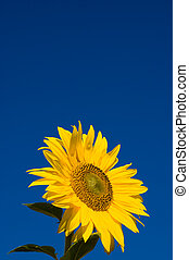 beautiful sunflowers - beautiful sunflower with blue sky