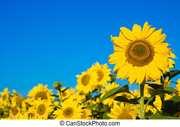 beautiful sunflowers with blue sky