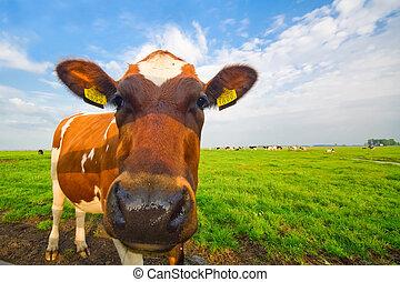 divertido, imagen, bebé, vaca