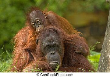 母親, Orangutan, 她, 2UTE, 嬰孩