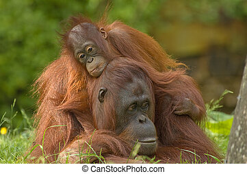 mother orangutan with her cute baby