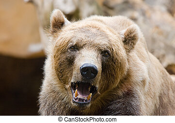Brown Bear - close-up of a big brown bear