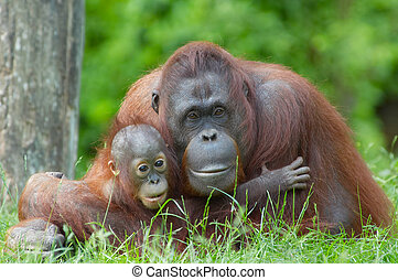 mother orangutan with her baby - mother orangutan with her...