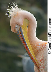 portrait of a pelican - portrait of a beautiful pelican