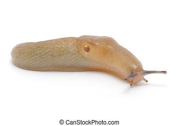 Slug - the slowest animal. It creeps on white background.