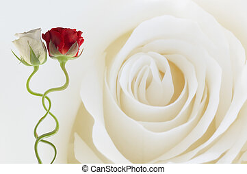 two roses together on a white rose background