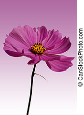 Cosmea isolated - A Cosmea against a homogeny background...