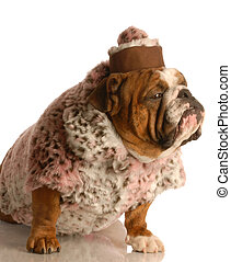senior female dog - english bulldog wearing pink fur coat...
