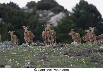 Barbary sheep or Mouflon, Ammotragus lervia, group standing...