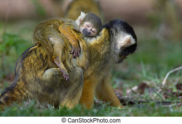 baby squirrel monkey asleep on mothers back - cute photo of...