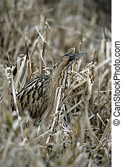 Bittern, Botaurus stellaris, In reedbed, Norfolk, winter...