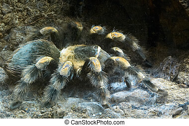 big hairy spider - A big hairy spider