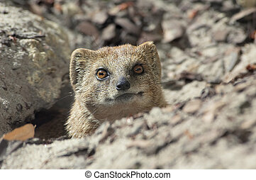 cute mongoose looking straight at the camera