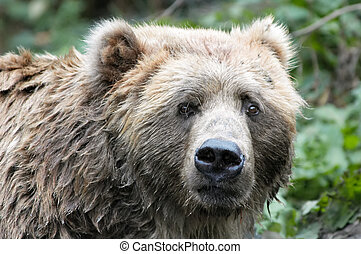 brown bear - big brown bear looking straght at the camera