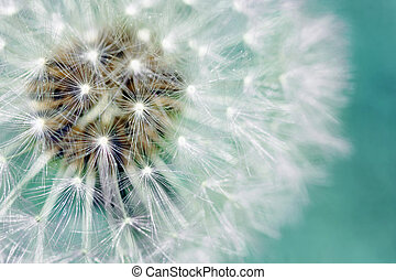 Dandelion fluffy seeds over blue - Macro of dandelion fluffy...