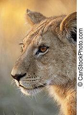 Lioness - Okavango Delta in Botswana - A young lioness...