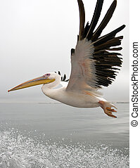 Great White Pelican - Namibia - A Great White Pelican...