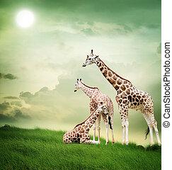 長頸鹿, 家庭