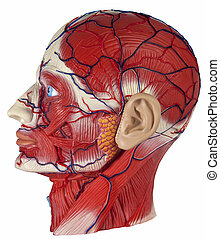 Human Physiology - Model of the human head showing major...