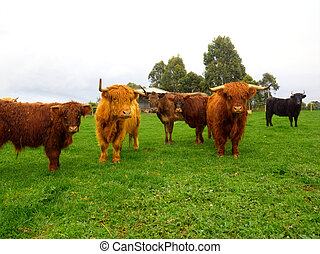 another hairy situation - highland cattle in victoria...