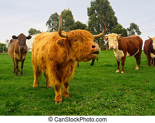 moo - highland cattle waiting for a meal in victoria...