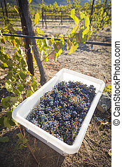 Wine Grapes In Harvest Bins One Fall Morning - Ripe Red Wine...