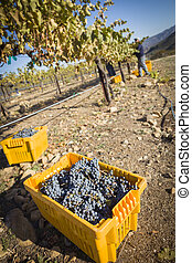 Workers Harvest Ripe Red Wine Grapes Into Bins One Fall...