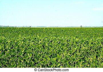 Field of soybean